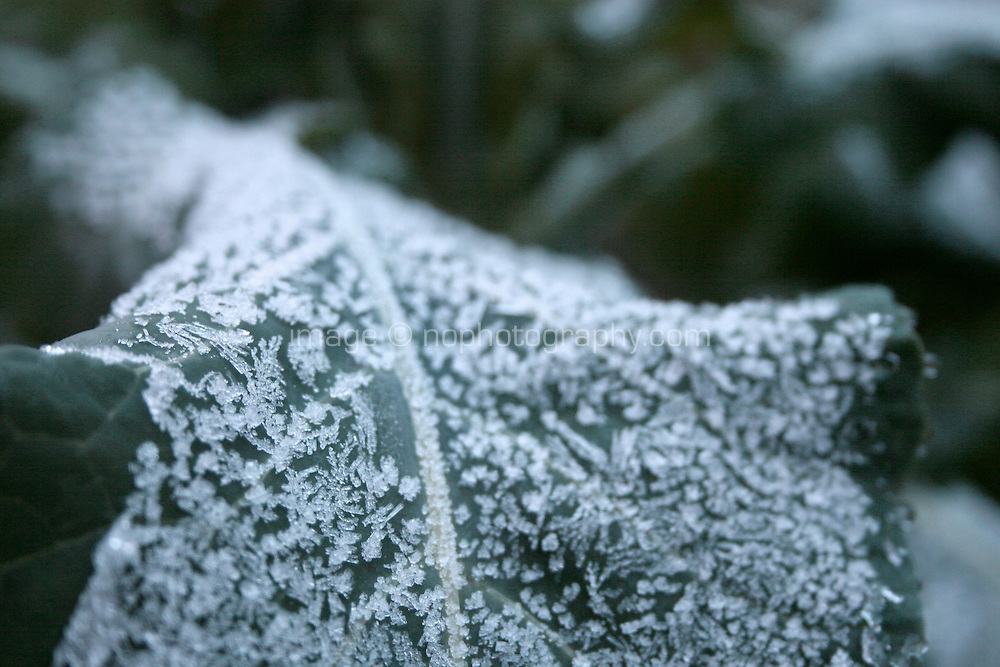 Frost covered leaf on broccoli plant in an Irish garden