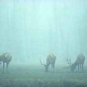 Elk, (Cervus elaphus) Velvet antlered bulls graze in foggy dew laden meadow. Ghost-like images created by fog.