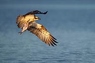 Osprey, Pandion haliaetus, catch Common bream, Abramis brama, Eskilstuna, Lake Malaren, Sweden