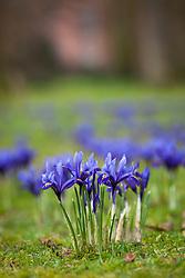 Iris 'Harmony' (Reticulata) AGM planted in the grass at Dunham Massey