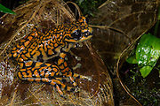 Prince Charles Stream Frog (Hyloscirtus princecharlesi)<br /> CAPTIVE<br /> ECUADOR. South America<br /> Threatened species due to habitat loss.<br /> RANGE: Ecuador<br /> New to Science<br /> Named after Prince Charles