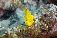 Golden goby-Gobie doré (Gobius auratus) of mediterranean sea.