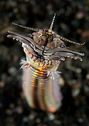 Facial and body view of the predatory Bobbit worm (Eunice aphroditois), taken in 6 metres of water in Lembeh Strait