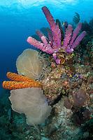 Yellow Tube Sponge and Stove-Pipe Sponge...Shot in British Virgin Islands