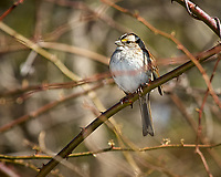 White-throated Sparrow. Image taken with a Nikon D2xs camera and 80-400 mm VR lens (ISO 400, 400 mm, f/8, 1/500 sec).