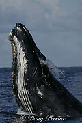 southern humpback whale, Megaptera novaeangliae, <br /> performs jaw clap ( aggressive display usually done <br /> by males in competitive groups ) while migrating up the Indian Ocean from feeding grounds in Antarctica toward breeding grounds in Mozambique, during the annual Sardine Run up the east coast of South Africa ( Indian Ocean )