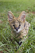 Serval<br /> Felis serval<br /> Six month old orphan kitten<br /> Tanzania