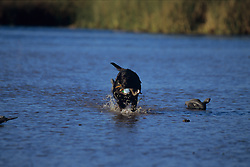 Stock photo of a black labrador retrieving a duck from a lake