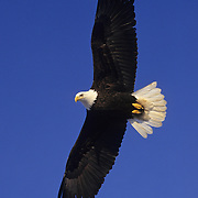 Bald Eagle adult in flight. Alaska