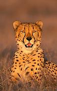 Image portrait of a cheetah (Acinonyx jubatus) gazing by Randy Wells