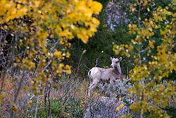 Bighorn Sheep, lamb, Gros Ventre Mountains, autumn, fall colors, Jackson Hole, Wyoming