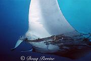 manta ray, Mobula birostris or alfredi, entangled in fishing line and netting, Monad Shoal, off Malapascua Island, Philippines ( Visayan Sea / Western Pacific Ocean )