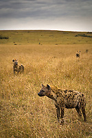 A pack of spotted hyena at dawn in the Masai Mara National Park, Kenya