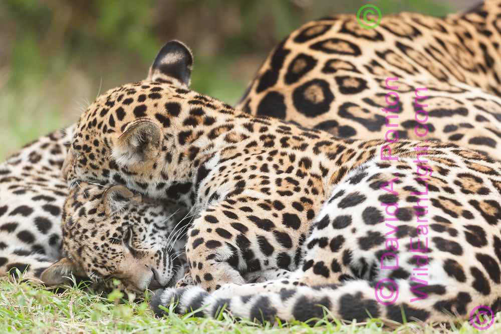 Jaguar cubs sleep next to their mother, one on top of the other, © David A. Ponton, USA