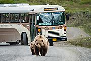 Grizzly bear (Ursus arctos, or North American brown bear) in Denali National Park, Alaska, USA.
