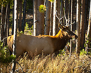 Bull Elk near West Entrance to Yellowstone National Park