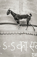 A goat in Varanasi (Benares), India
