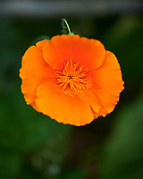 California Poppy Image taken with a Nikon Df camera and 70-200 mm f/2.8 lens.