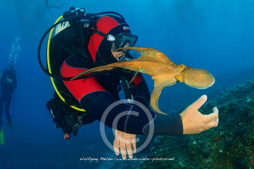 Common octopus, Gemeiner Krake und Taucher, Common Octopus and scuba diver, Adria, Adriatisches Meer, Mittelmeer, Kornaten, Dalmatien, Kroatien, Adriatic Sea, Mediterranean Sea, Kornati, Dalmatia, Croatia, MR YES