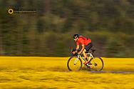 Road bicycling through ripe fields of canola near Whitefish, Montana, USA MR