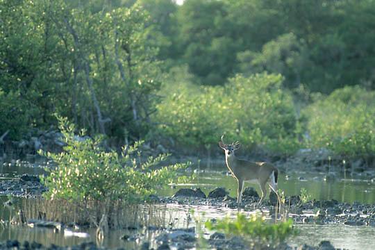 Key Deer, (Odocoileus virginianus clavium) buck in Key Deer National Refuge. Florida.