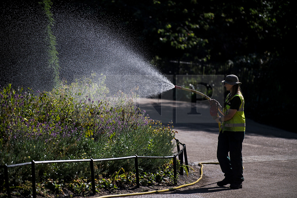 © Licensed to London News Pictures. 13/06/2021. London, UK. Plants being watered in the early morning sunshine in Hyde Park central London on a hot summer's day. Temperatures in the capital are expected to reach a high for the year. Photo credit: Ben Cawthra/LNP