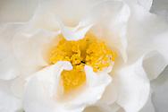 Purity Camellia (Camellia japonica) flower