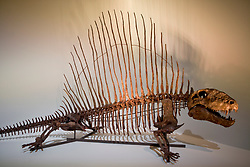 Stock photo of a Dimetrodon skeleton at the new Paleontology Hall at the Houston Museum of Natural Science