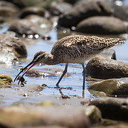 A Whimbrel searches for food, preferably tiny crabs, between the rocks in the tide pools at Malibu Beach.