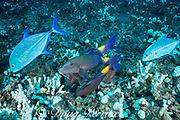 hunting coalition of blue goatfish, yellowsaddle goatfish, or moano ukali ulua, Parupeneus cyclostomus, and bluefin trevally or omilu, Caranx melampygus, Hoover's Reef, Makako Bay, Keahole, Kona, Hawaii, USA ( Central Pacific Ocean ); the jacks follow the goatfish in order to seize any swift prey that the goatfish flush out of the reef while foraging in reef crevices and substrate