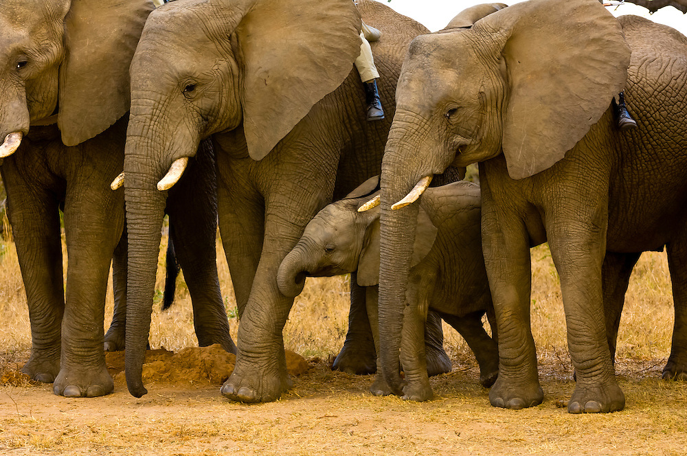 Baby Elephants, African Elephant herd, Camp Jabulani, Kapama Private Game Reserve, near Kruger National Park, South Africa