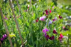 Sweet peas growing up a cane structure covered with green netting. Lathyrus odoratus