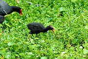 Alae ula, Hawaiian Moorhen (Gallinula chloropus sandvicensis) and chick. The Alae ula is an endangered species found only on two Hawaiian islands. Waimea Valley, Oahu, Hawaii