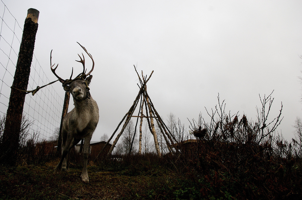 Hirvas Salmi, FINLAND.  October 17, 2007- Teethered to a post a reindeer shakes furiously to break free.  Reindeer are fashioned this way temporarily before a slaughter or being transported to their homes for tourism purposes..