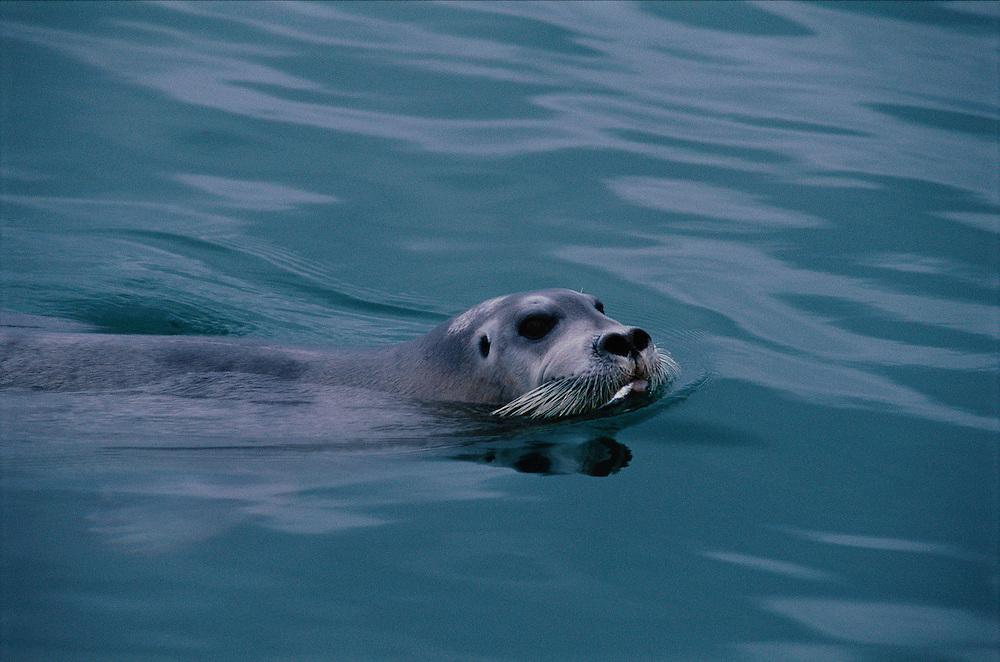 Bearded Seal, Erignathus barbatos, Svalbard / Spitsbergen, Norway