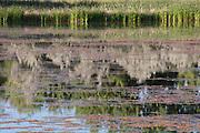 Cattails, Willow, Reflections, Red Algae, Sawhill Ponds, Walden Pond, Walden Ponds Wildlife Habitat, Boulder Open Space, Colorado Parks and Wildlife, copyright 2013 David Leland Hyde.