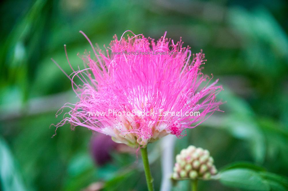 pink Calliandra (Calliandra harrisii) AKA powder-puff, powder puff plant or fairy duster. Photographed in Israel in June