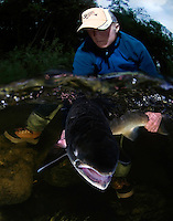Atlantic Salmon, Salmo salar, in River Orkla, Rennebu, Norway<br /> Model name: Erik Evavold-Model release form valid by photographer. Photographed at catch/release fishing.