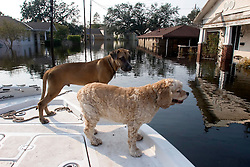 05 Sept  2005. New Orleans, Louisiana. Post hurricane Katrina.<br /> Rescued dogs relax on the front of a boat which saved them from the devastating floods in Uptown New Orleans.<br /> Photo; ©Charlie Varley/varleypix.com