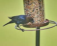 Brown-headed Cowbird. Image taken with a Nikon D4 camera and 600 mm f/4 VR telephoto lens