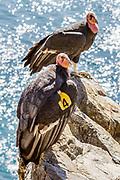 "California Condor #204 ""Amigo"" and #646 ""Kodama,"" on a cliff along Highway 1 on the Big Sur Coast, California"
