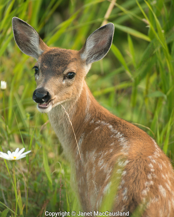 A Black-tailed fawn looks back over its spots in Petersburg, Alaska.