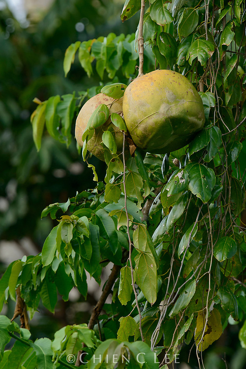 Alsomitra macrocarpa, nearly ripe gourds which when open will release the papery seeds. Halmahera, North Maluku, Indonesia.