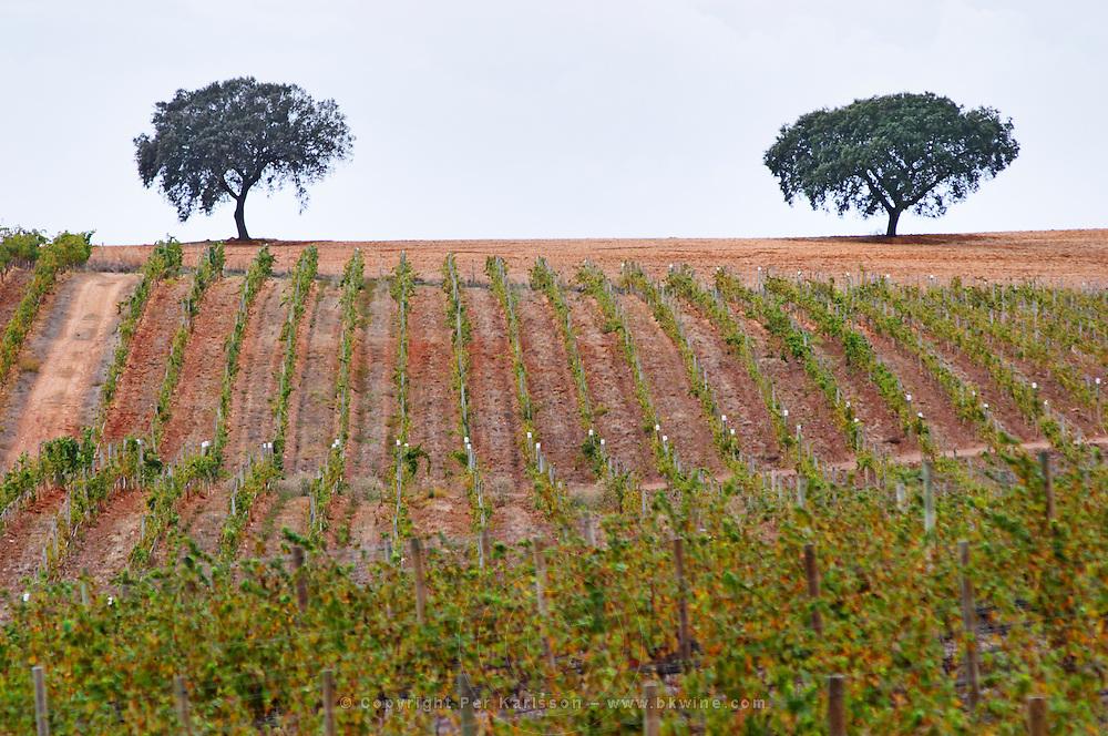 Vineyards. Oak trees. Herdade da Malhadinha Nova, Alentejo, Portugal