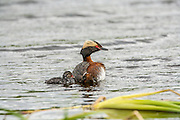 Horned Grebe with Chick in water