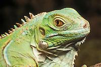 Green iguana, Iguana iguana. Captive; native to Central America.