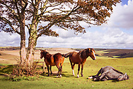 Five wild ponies on Cissbury Ring on the South Downs with rolling hillside and agricultural land in West Sussex, England, UK
