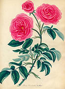ROSA Provincialis; Var. flore pleno. Province Rose ; Douhle-flowered Variety From the book Roses, or, A monograph of the genus Rosa : containing coloured figures of all the known species and beautiful varieties, drawn, engraved, described, and coloured, from living plants. by Andrews, Henry Charles, Published in London : printed by R. Taylor and Co. ; 1805.