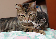 Middletown, NY - A mother cat and one of its kittens sit on a bedon April 5, 2008.