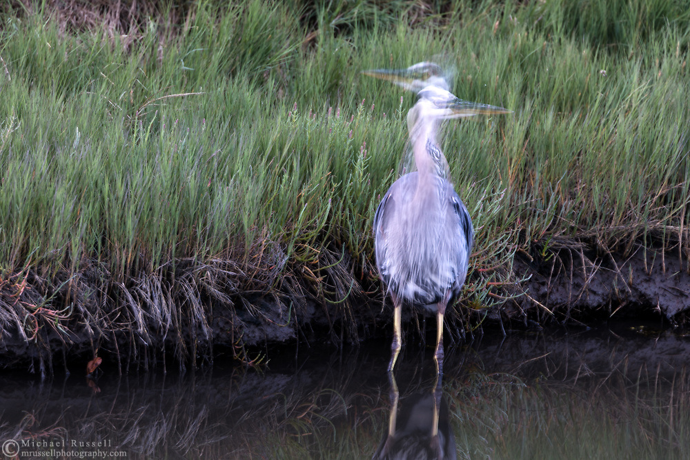 A wading Great Blue Heron (Ardea herodias) searching for small fish and invertebrates along the shoreline.  Photographed at Blackie Spit in Surrey, British Columbia, Canada.